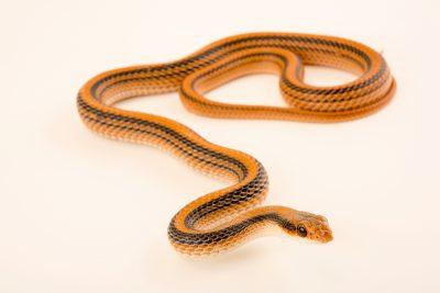 Photo: Mountain patch-nosed snake (Salvadora grahamiae grahamiae) at the Arizona-Sonora Desert Museum.