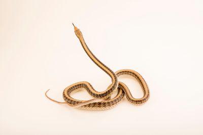 Photo: Desert patch-nosed snake (Salvadora hexalepis hexalepis) at the Arizona-Sonora Desert Museum.