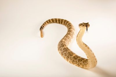Photo: El Muerto Island rattlesnake (Crotalus mitchellii muertensis) at the Arizona-Sonora Desert Museum.