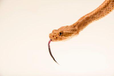 Photo: Midget faded rattlesnake (Crotalus oreganus concolor) at the Arizona-Sonora Desert Museum.