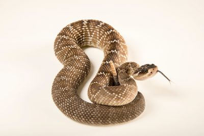 Photo: Sonoran blacktail rattlesnake (Crotalus molossus nigrescens) at the Arizona-Sonora Desert Museum.