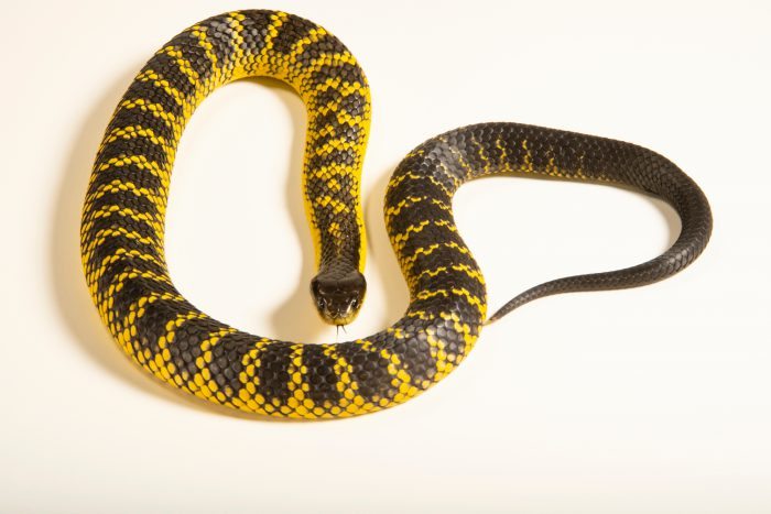 Photo: Western tiger snake (Notechis scutatus occidentalis) from a private collection.