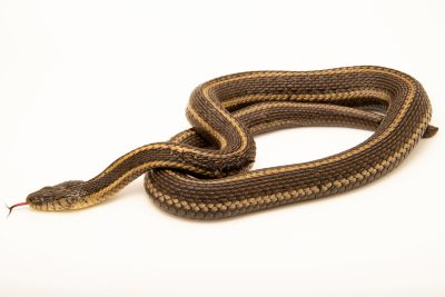 Photo: Giant garter snake (Thamnophis gigas) at the Sacramento Zoo. This is a federally-threatened species.