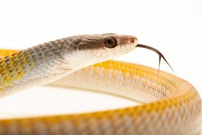 Photo: Golden tree snake (Dendrelaphis punctulatus) at Moonlit Sanctuary