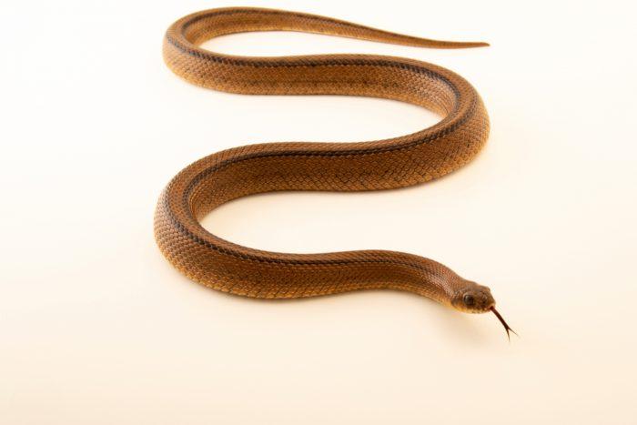 Photo: An adult ladder snake (Rhinechis scalaris) at the Environmental Education Center of the Ribeiras de Gaia.