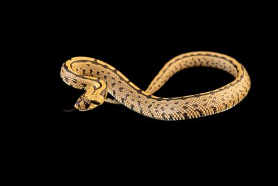 Photo: An juvenile ladder snake (Rhinechis scalaris) at the Environmental Education Center of the Ribeiras de Gaia.