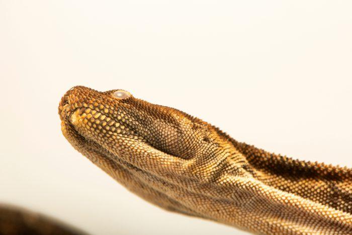 Photo: Arafura file snake (Acrochordus arafurae) at Lilydale High School in Australia.