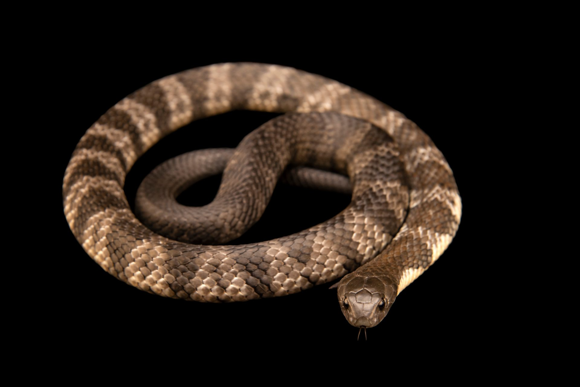 Eastern tiger snake (Notechis scutatus scutatus) from a private collection.