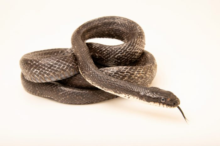 Photo: An Eastern ratsnake (Pantherophis alleghaniensis) at the Carolina Waterfowl Rescue.