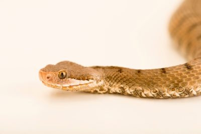 Photo: An endangered Italian asp viper (Vipera aspis francisciredi) at Reptiland in Riva del Garda Italy.