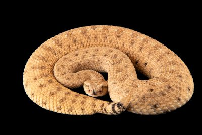 Photo: Mojave desert sidewinder (Crotalus cerastes cerastes) at the Woodland Park Zoo.