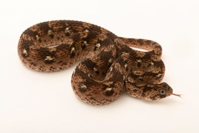Photo: A west African carpet viper (Echis ocellatus) at the Denver Zoo.