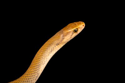 Photo: A Philippine red ratsnake (Coelognathus erythrurus manillensis) at the Avilon Zoo.