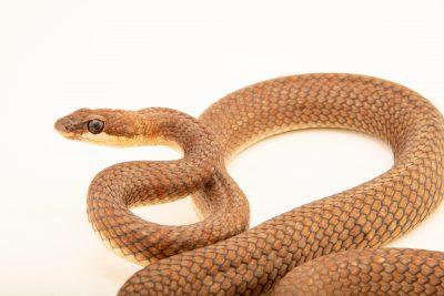 Photo: A paradise flying snake (Chrysopelea paradisi variabilis) at the Avilon Zoo.