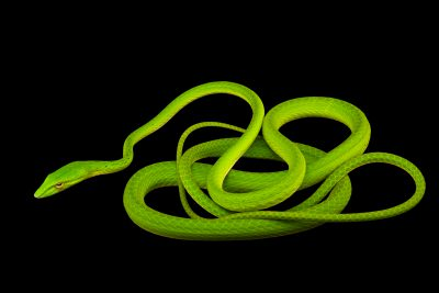 Photo: An Asian vine snake (Ahaetulla prasina praeocularis) at the Avilon Zoo.