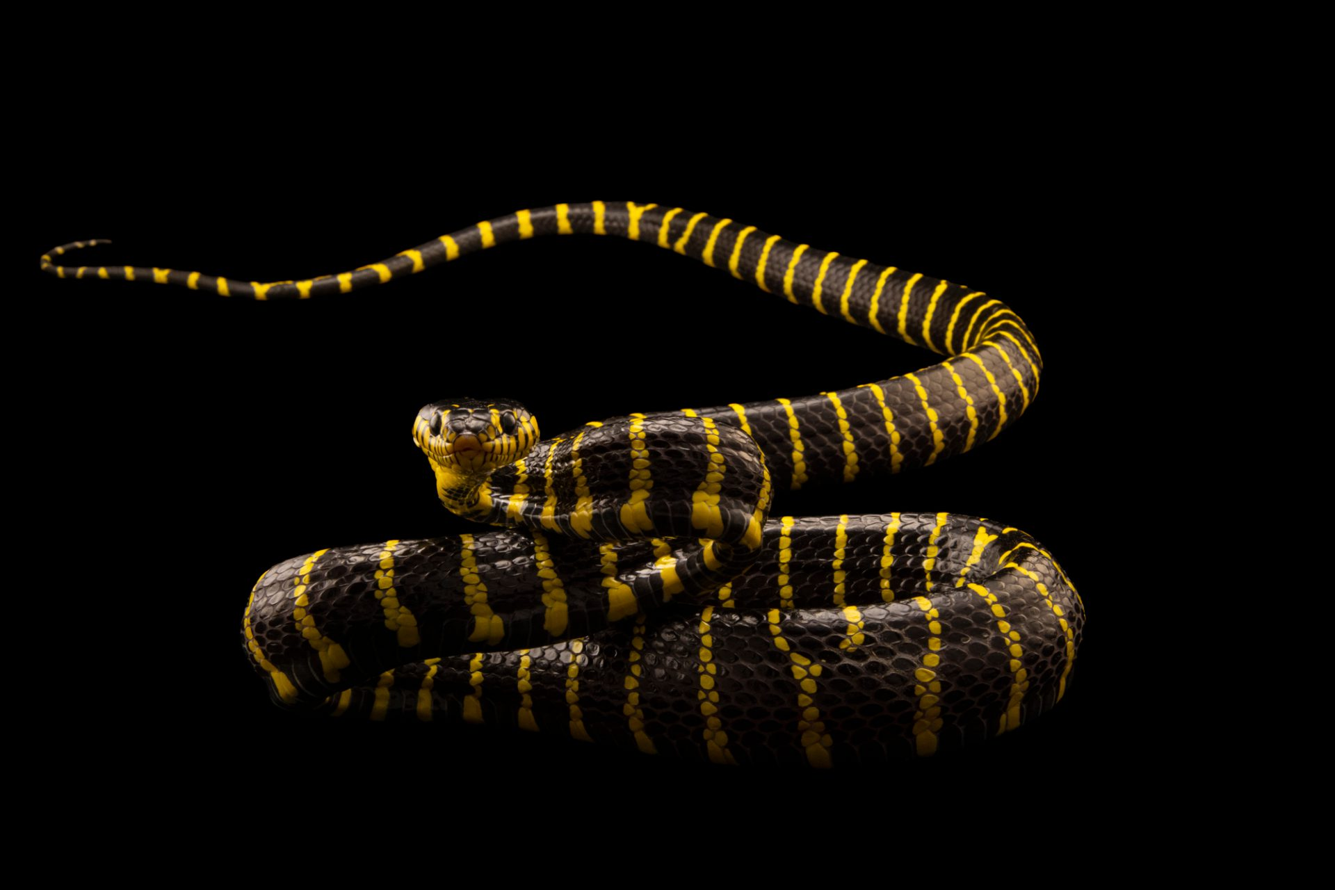 Photo: A Philippine mangrove snake (Boiga dendrophila multicincta) at the Avilon Zoo.