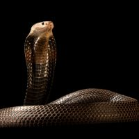 Photo: A Equatorial spitting cobra (Naja sumatrana miolepis) at the Avilon Zoo.