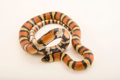 Photo: New Mexico milksnake (Lampropeltis triangulum celaenops) at the Albuquerque BioPark Aquarium.