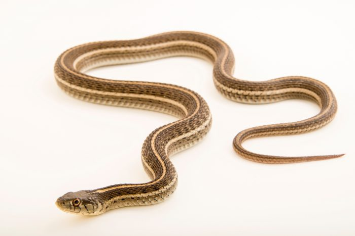 Photo: Northern Mexican garter snake (Thamnophis eques megalops) at the Albuquerque BioPark Aquarium.