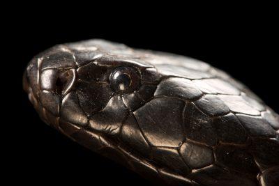 Photo: Black-necked spitting cobra (Naja nigricollis) at the Albuquerque BioPark Aquarium.