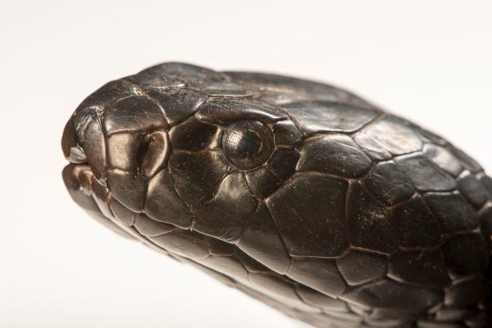 Photo: Black necked spitting cobra (Naja nigricollis) at the Albuquerque BioPark Aquarium.