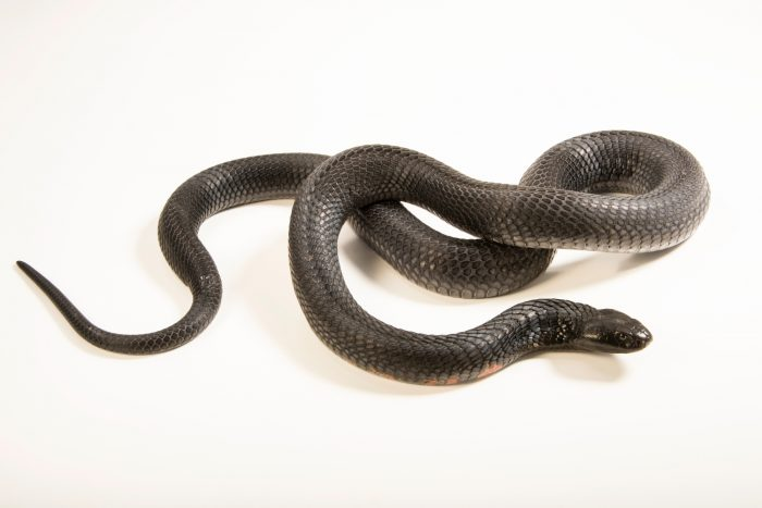 Photo: Black necked spitting cobra (Naja nigricollis) at the Albuquerque BioPark Aquarium.
