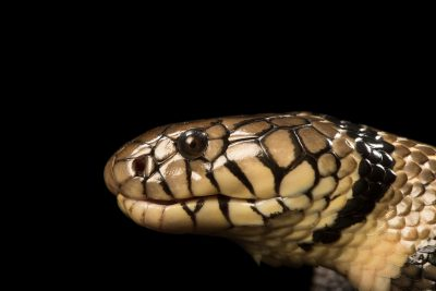Banded water cobra (Naja annulata annulata) at the Albuquerque BioPark Aquarium.