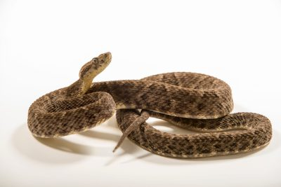 Photo: Colombian lancehead (Bothrops colombiensis) at the Albuquerque BioPark Aquarium.