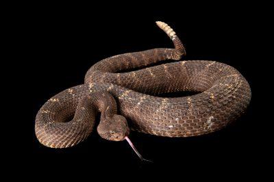 An Arizona black rattlesnake, Crotalus cerberus, at the Sedgwick County Zoo.