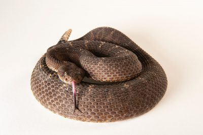 An Arizona black rattlesnake, Crotalus cerberus, at the Sedgwick County Zoo.