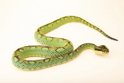 Photo: Sri Lankan pit viper, Trimeresurus trigonocephalus, at the Oklahoma City Zoo.