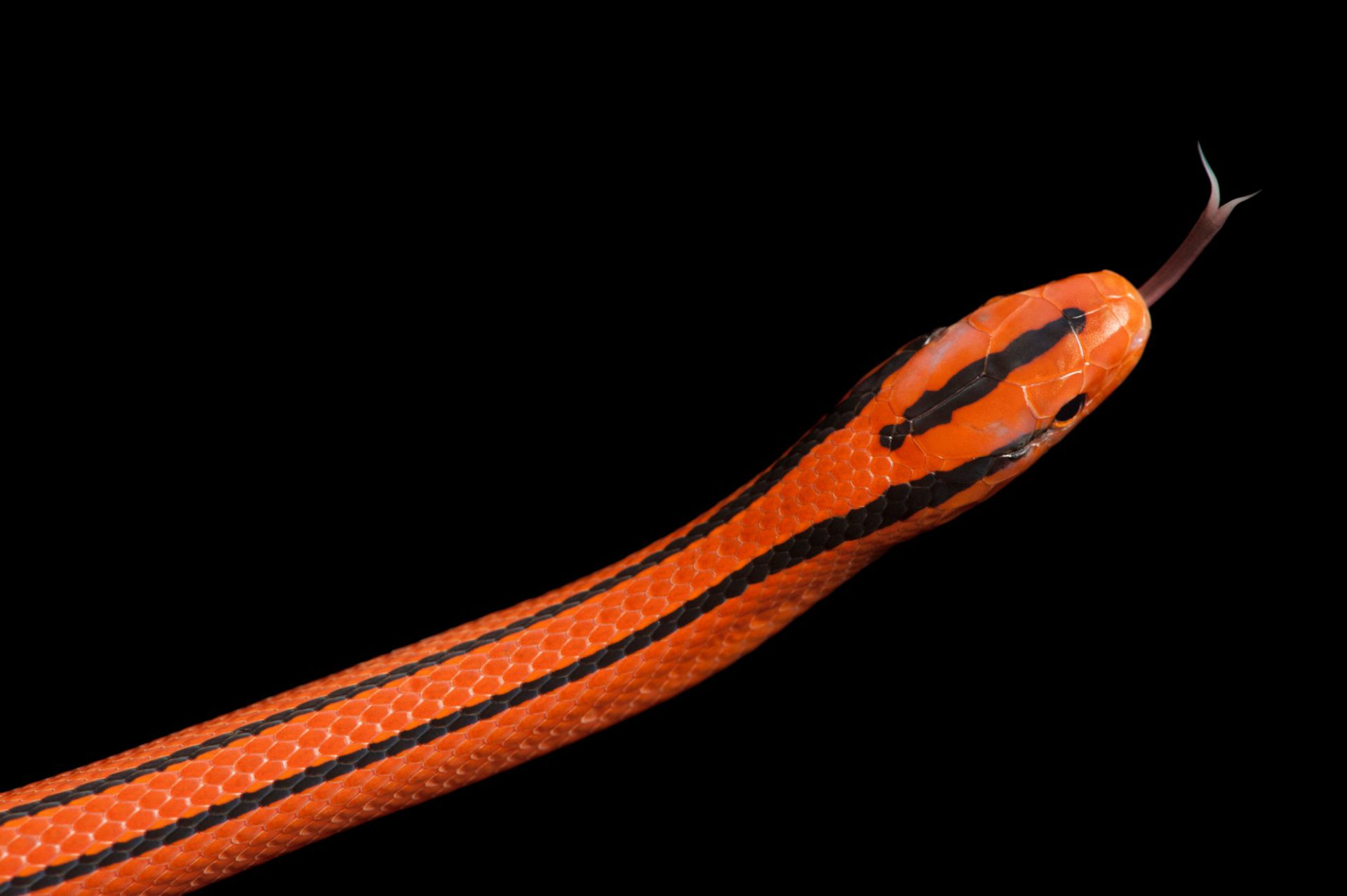 Photo: A Thai bamboo rat snake (Elaphe porphyracea coxi) at Miller Park Zoo.