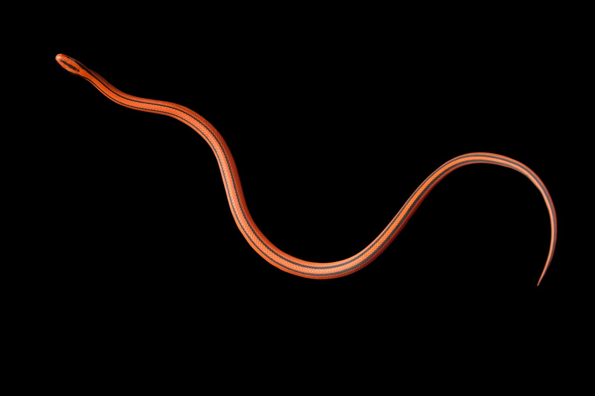 Photo: A Thai bamboo rat snake (Elaphe porphyracea coxi) at Miller Park Zoo.