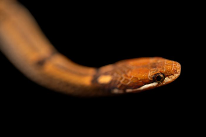 Photo: A Philippine cylindrical snake (Hologerrhum philippinum) at the University of the Philippines.