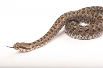An Armstrong's Dusky Rattlesnake (Crotalus armstrongi) at the Houston Zoo.