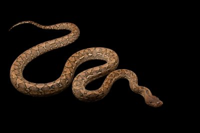 Photo: A Djampea reticulated python (Malayopython reticulatus jampeanus) at Taman Mini Indonesia Indah.