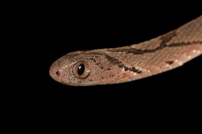 An egg-eating snake (Dasypeltis scabra scabra) at Zoo Atlanta.