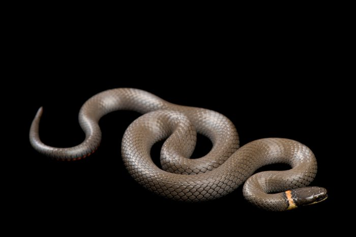 A Prairie ringneck snake (Diadophis punctatus arnyi) from a private collection.