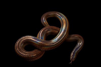 Photo: A sun beam snake (Xenopeltis unicolor) in Jakarta, Indonesia in the care of PT. Alam Nusantara Jayatama.