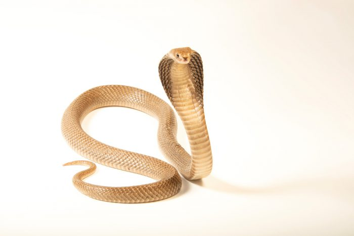 Photo: An Indonesian spitting cobra (Naja sputatrix) in Jakarta, Indonesia in the care of PT. Alam Nusantara Jayatama.