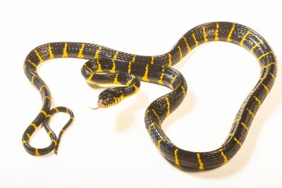 Photo: A mangrove snake (Boiga dendrophila dendrophila) in Jakarta, Indonesia in the care of PT. Alam Nusantara Jayatama.