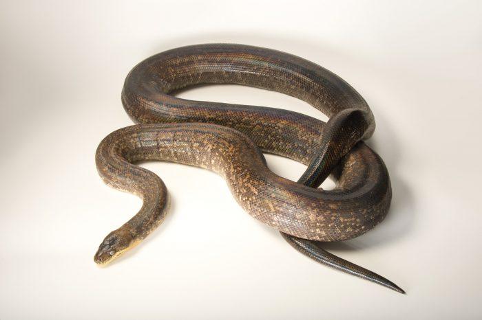 Photo: A Macklot's python (Liasis mackloti makloti) at the Louisville Zoo.