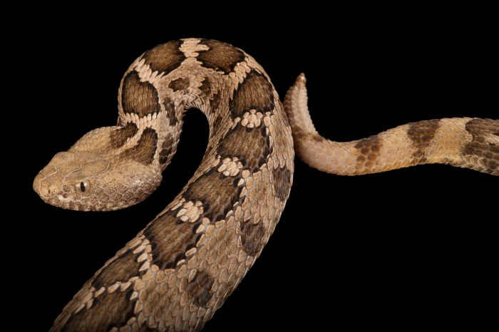 Photo: A Mexican pygmy rattlesnake (Crotalus ravus) at the Houston Zoo.