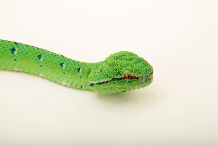Photo: A Philippine temple pit viper (Tropidolaemus subannulatus) at Avilon Zoo.