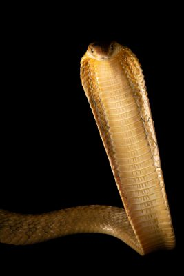 Photo: A Philippine king cobra (Ophiophagus hannah) at the Avilon Zoo. This species is listed as vulnerable on the IUCN Red List.