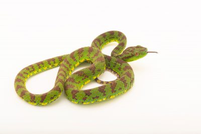 Photo: Philippine pit viper (Trimeresurus flavomaculatus) at Avilon Zoo.