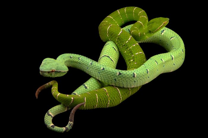 Photo: A male and female Bornean keeled green pit viper (Tropidolaemus subannulatus) at the Avilon Wildlife Conservation Foundation.