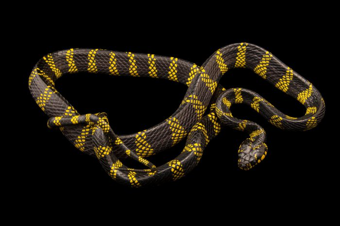 Photo: Mangrove snake (Boiga dendrophila levitoni) at Eltoro Zoo de la Castellana, Inc., on Negros Island, Philippines.