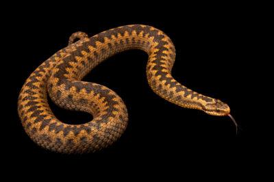 Photo: A common viper, Vipera berus berus, at Wildwood Trust near Canterbury, England.