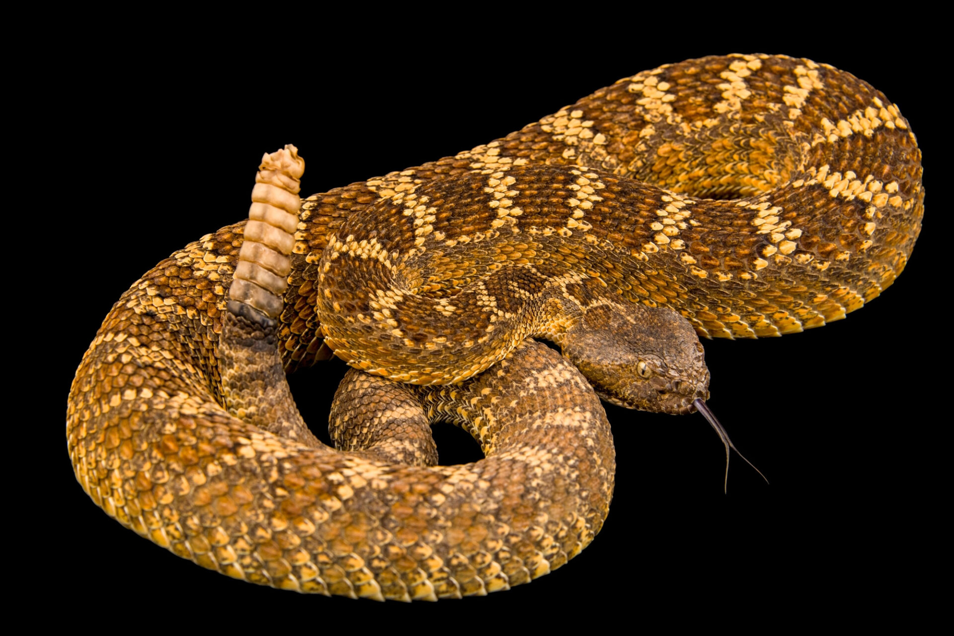 Photo: A Cerbat Mountains rattlesnake (Crotalus oreganus hualapaiensis) at the American International Rattlesnake Museum in Albuquerque, NM.
